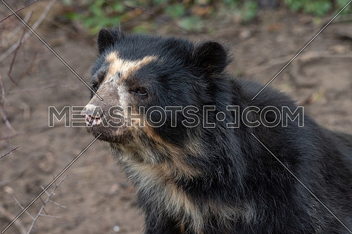 Spectacled bear (Tremarctos ornatus), also known as the Andean bear. Wildlife animal.