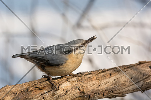 Eurasian nuthatch (Sitta europaea) sitting on a tree trunk with a nut in its beak