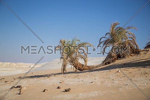 Palm Trees in the White desert