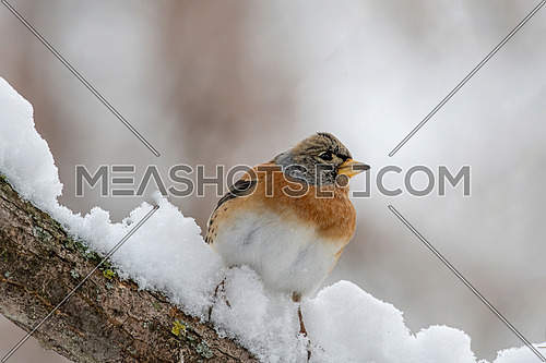 Brambling - Fringilla montifringilla on sitting on a branch in nature.