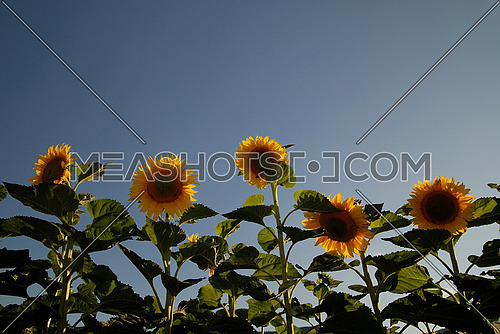 sunflowers field   (NIKON D80; 6.7.2007; 1/100 at f/5.6; ISO 100; white balance: Auto; focal length: 18 mm)