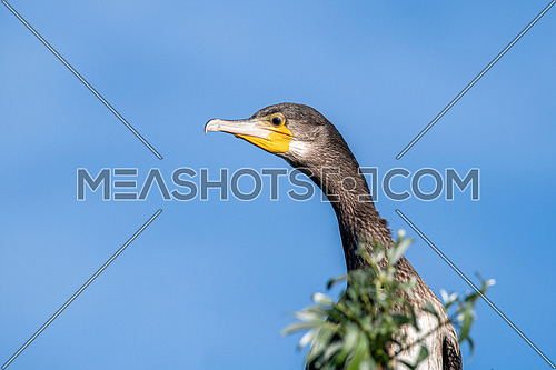 Great cormorant (Phalacrocorax carbo), also known as the great black cormorant.