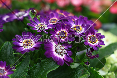 Close up purple cineraria flowers in garden, high angle view