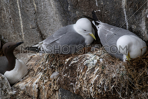 Nesting Kittiwakes (Rissa tridactyla) on the sea cliffs on the Isle of May
