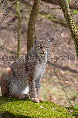 Close up portrait of young Eurasian lynx sitting on moth stone in forest among trees, looking at camera, low angle view