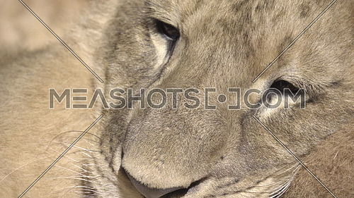 Very tight shot of a lion cub face