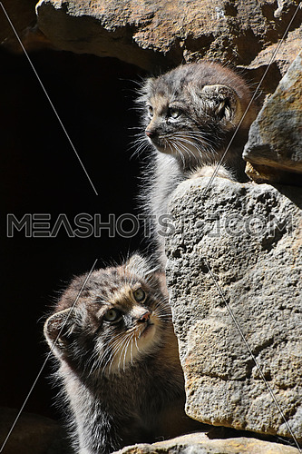 Close up portrait of two cute Manul kittens (The Pallas's cat or Otocolobus manul) hiding in rocks and looking out and watching alerted, low angle view