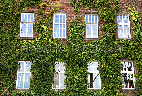 Windows of old mansion house on brick wall mantled with ivy, summer day