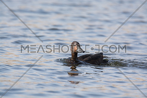 ferruginous Duck swimming in calm water