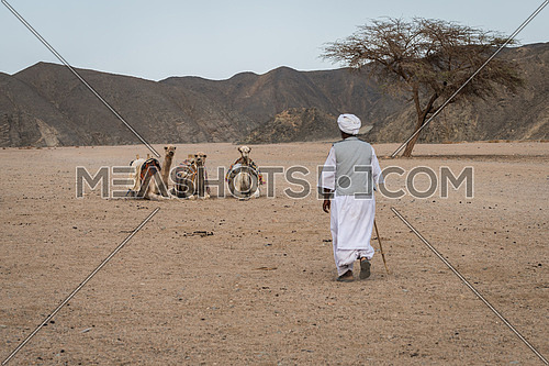In the picture a Bedouin him walking towards his three camels seated waiting him near an acacia tree.