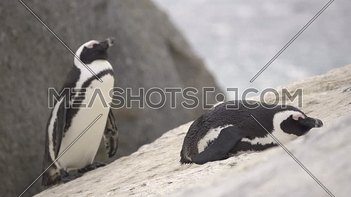 Two penguins resting on a boulder