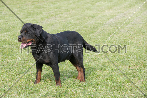 Young Purebred Rottweiler dog outdoors in the nature on grass meadow on a summer day. Selective focus on dog