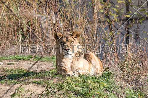 Image of a female african  lion on nature background. Wild Animals.