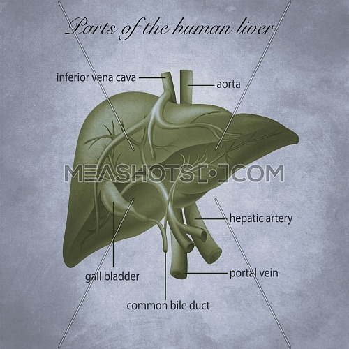 Parts of the human liver