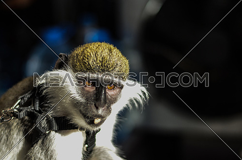 A close up on a monkey's face chewing a peanut