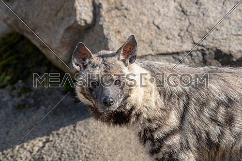 Striped hyena (Hyaena hyaena sultana). African animal
