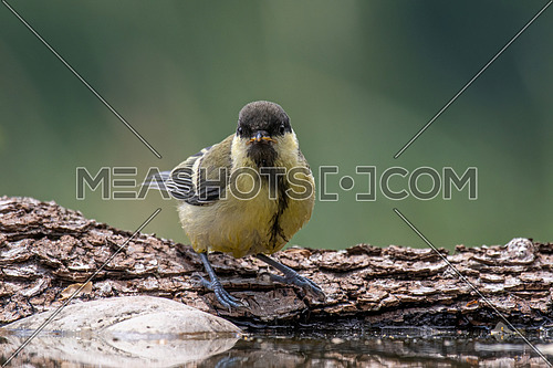 Close up of Great tit (Parus major) near pond in the forest