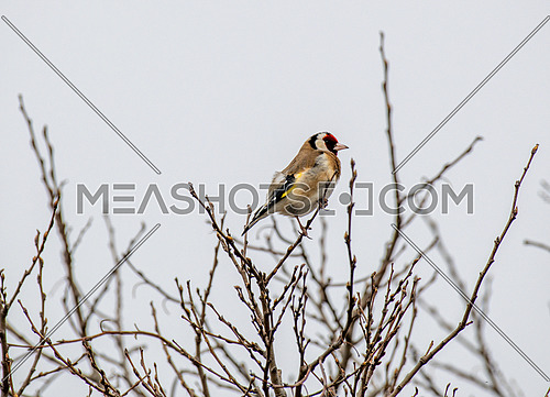 European Goldfinch (Carduelis Carduelis) perched on tree