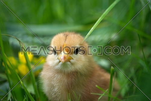 A baby chick viewed at ground level in greenery and grass outdoors in a field or garden with shallow depth of field