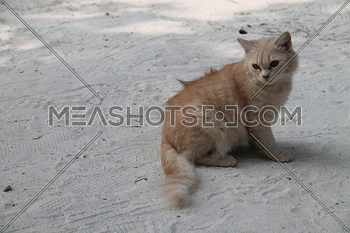 Persian cat in one of Maldives resort