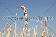 One mature wheat ear spike full of ripe grain over shaking in the wind the field under clear blue sky, close up