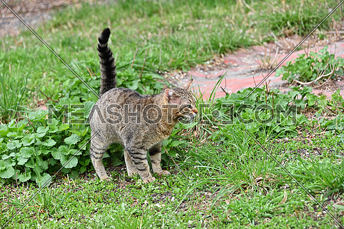 Full length side view of grey domestic cat standing alerted with tail up in green grass and looking away