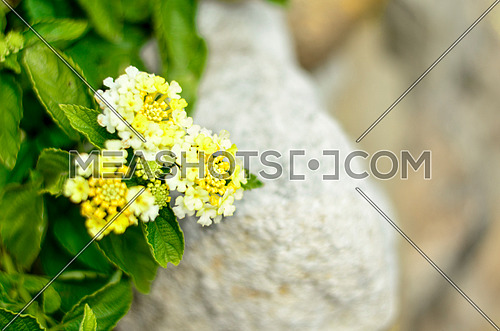 Yellow small flowers against a rock