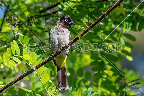 White-spectacled Bulbul (Pycnonotus xanthopygos) sitting on a branch