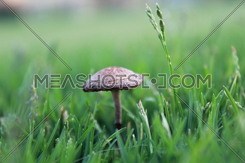 closeup on a tiny mushroom between green grass