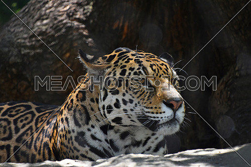 Close up side profile portrait of jaguar (Panthera onca) looking away over dark brown background, low angle view