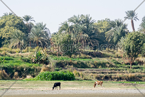Farm With Animals Feeding on Nile - Aswan