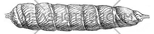Intestine of a dogfish, injected with Roman cement, vintage engraved illustration. Magasin Pittoresque 1844.