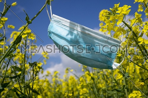 Surgical face mask hanging on yellow rapeseed or mustard seed flowers in a concept of hay fever and respiratory allergies due to pollen against a sunny blue sky