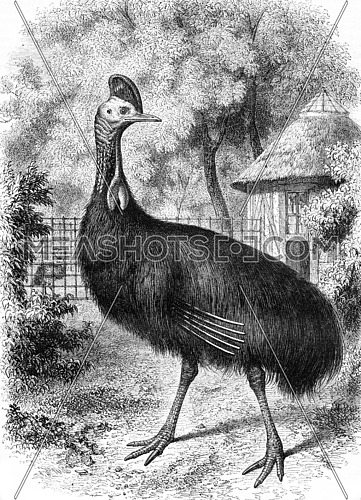 Natural History Museum, The Cassowary helmet, vintage engraved illustration. Magasin Pittoresque 1857.