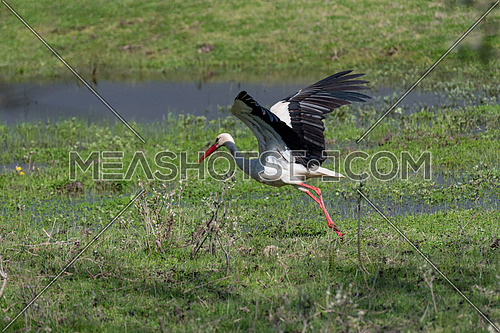 White stork, Ciconia ciconia, a large bird with mainly white plumage and black on its wings, posing, against green blurred background .