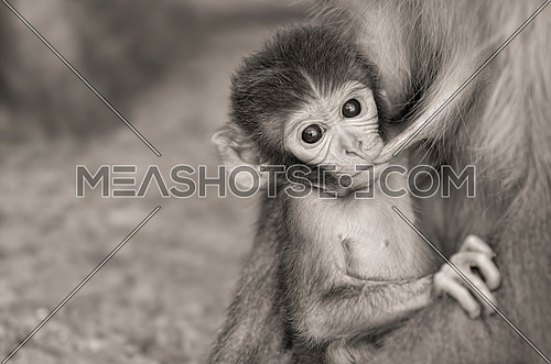 a black and white image of a little monkey carried by its mother looking to camera