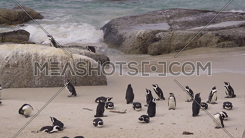 Scene of a small group or waddle of African penguins