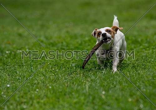 Jack Russell terrier pursuing and catching stick playing on gree