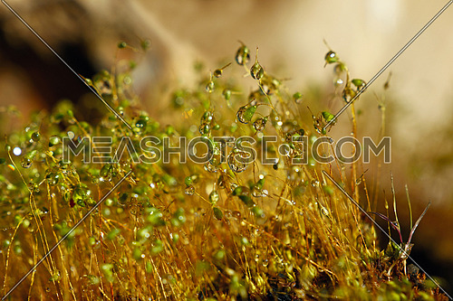 Close up common haircap moss (Polytrichum commune) brown stems and capsules with water drops after the rain, low angle view