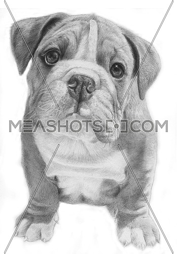 Cute bulldog hand-drawn illustration, grayscale, facing front