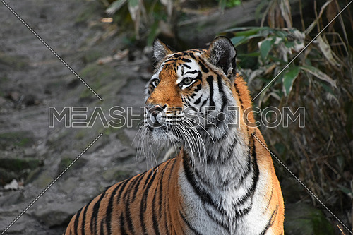 Close up side profile portrait of Siberian tiger (Amur tiger, Panthera tigris altaica) over rocks and forest