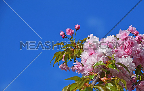Branch of fresh pink cherry blossom sakura flowers with green leaves and new buds over clear blue sky background
