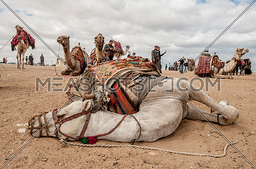 a camel resting on the ground