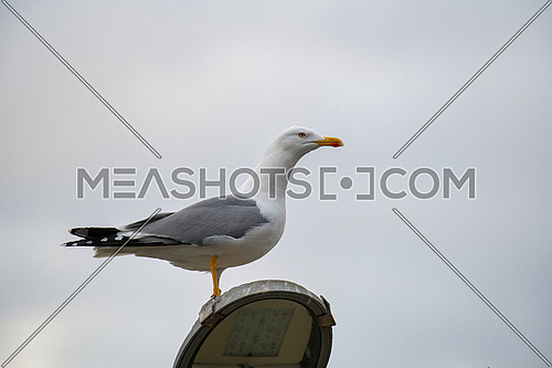 Caspian gull Larus cachinnans stands in profile