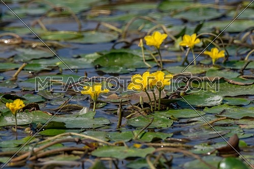 Dense floating fresh water vegetation of Fringed Water-lily (Nymphoides peltata)