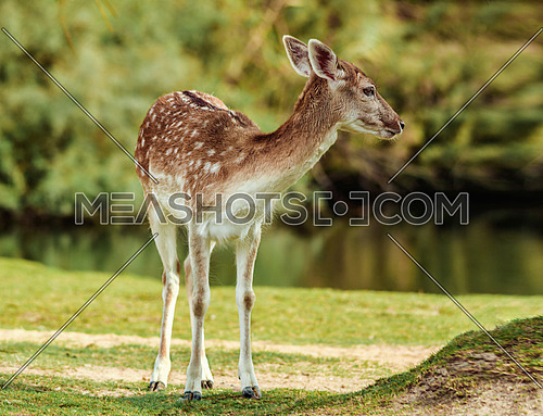 a deer by a lake / pond