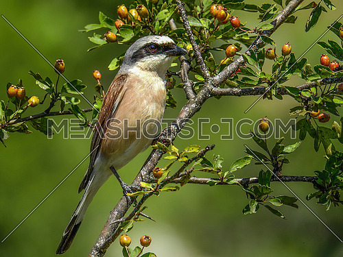Close up of Red-backed Shrike (Lanius collurio)