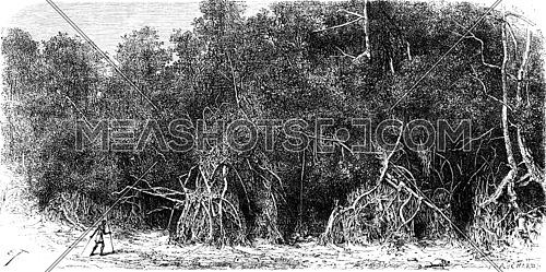 Mangroves equatorial rivers, vintage engraved illustration. Le Tour du Monde, Travel Journal, (1865).