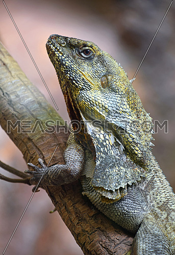 Close up side profile portrait of Australian frilled-neck lizard on tree (Chlamydosaurus kingie, frilled lizard, frilled dragon or frilled agama), low angle view