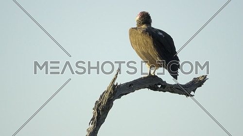 View of a Lappet Faced Vulture perched on a branch